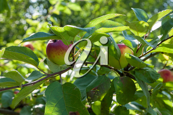 Apples grows on branch among the green foliage in apple fruit garden under sunlight, harvesting season in orchard, close-up view.
