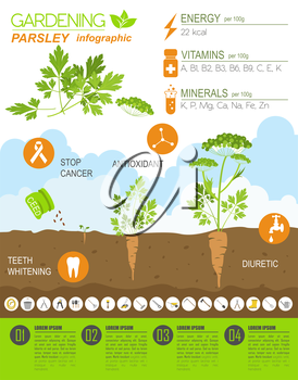 Gardening work, farming infographic. Parsley. Graphic template. Flat style design. Vector illustration