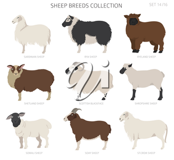 Sheep breeds collection 14. Farm animals set. Flat design. Vector illustration
