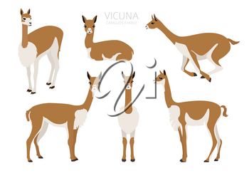 Camelids family collection. Vicuna graphic design. Vector illustration