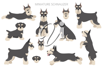 Miniature schnauzer dogs in different poses and coat colors. Adult and puppy scottie set.  Vector illustration