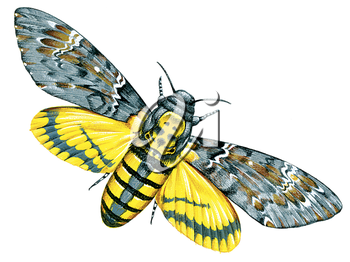 Royalty Free Clipart Image of a Hawk Moth