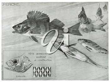 Royalty Free Clipart Image of a Perch Fish