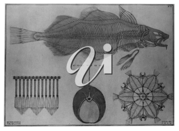 Royalty Free Clipart Image of the Skeleton of a Cod Fish