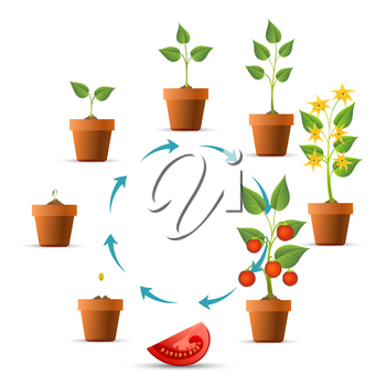 Plant growth stages. Tomato growing circle, seeds and sprout, branch leaves and tomatoes phases vector illustration