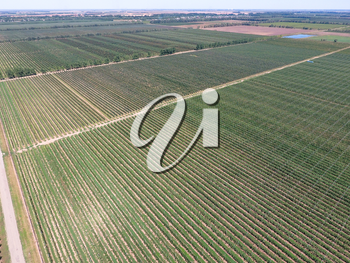 Rows of trees in the garden. Aerophotographing, top view. Landscape apple orchards.