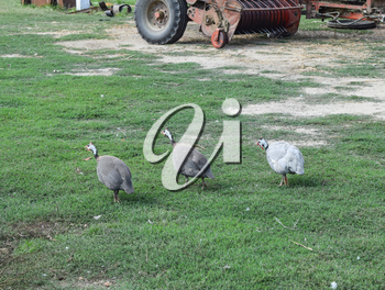 Guinea fowl on the green grass. Guinea fowl - poultry in the village courtyard.