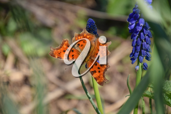Polygonia c-album on a flower. Butterfly drinking the nectar of the flower.