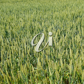 Spikelets of green wheat. Ripening wheat in the field