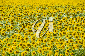 Flowering sunflowers in the field. Sunflower field on a sunny day. field of blooming sunflowers on a background sunset