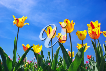 Tulips on sky background. Composition of nature.