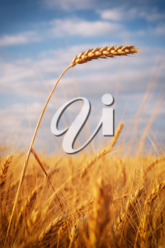Ear of wheat. Nature composition.