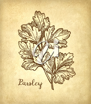 Parsley ink sketch on old paper background. Hand drawn vector illustration. Retro style.