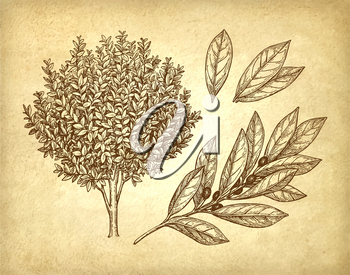 Bay laurel tree, branch and leaves. Ink sketch on old paper background. Hand drawn vector illustration. Retro style.