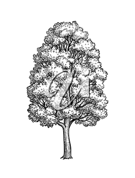 Ink sketch of Maple tree. Hand drawn vector illustration isolated on white background. Retro style.