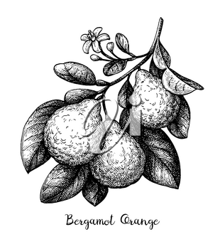 Bergamot orange branch with fruits and flower. Ink sketch isolated on white background. Hand drawn vector illustration. Retro style.