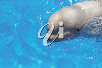 beluga whale (white whale) in water