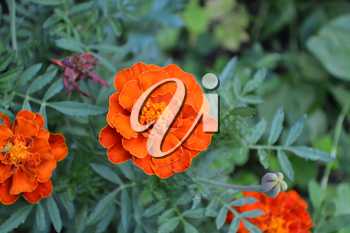 Marigolds. Tagetes. Flowerbed. Fluffy buds. Green leaves. Growing flowers.  Flowers yellow or orange. Horizontal photo
