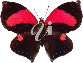 Royalty Free Photo of a Red and Black Butterfly