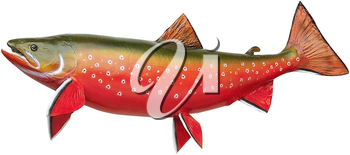Royalty Free Photo of an Arctic Char Fish