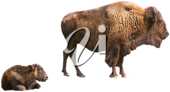Royalty Free Photo of Bison
