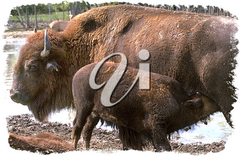 Royalty Free Photo of a Mother Bison and Her Baby