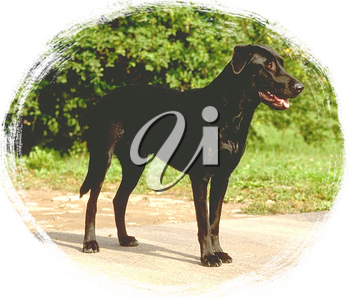 Royalty Free Photo of a Large Black Labrador Dog