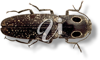 Royalty Free Photo of a Bettle