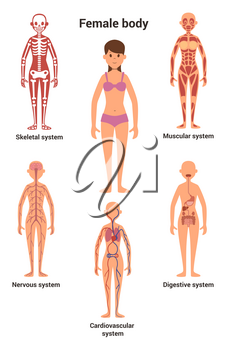 Female body. Human anatomy. Skeletal and muscular system, nervous and circulatory system, human digestive system. Human anatomy skeletal and digestive system. Vector illustration