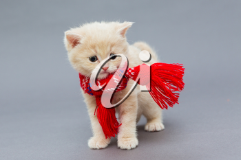 Little kitten British breed with a beautiful scarf on a grey background