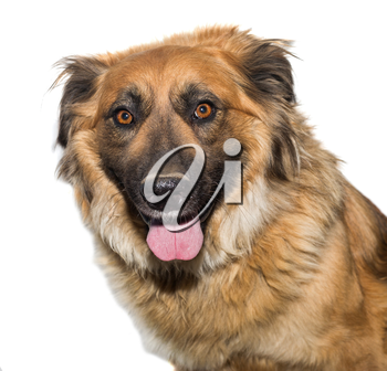 Portrait of a stray dog, isolated on white