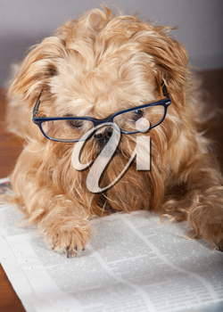 Serious dog in glasses reading the newspaper