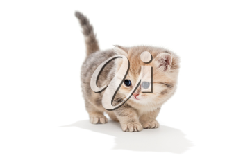 Small, funny kitten  breed British marble, isolated on white