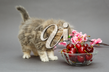 Small, funny British marble kitten and a bowl of cherries on a grey background