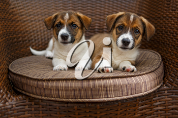 Two small puppies lying in a wooden rattan chair