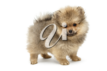 Pomeranian puppy , side view, isolated on white background