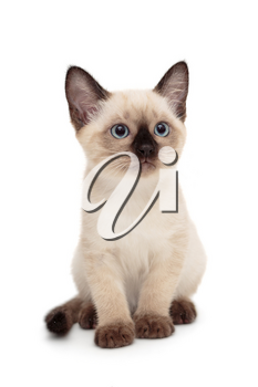 Small Siamese kitten isolated on white background