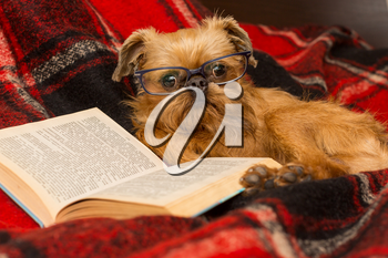 Dog with glasses is lying comfortably in bed reading a book