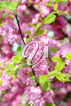 Pink cherry blossoms on a softly blurred background