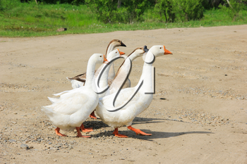 Several geese cross the road