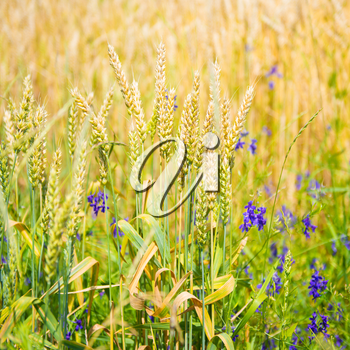 Field of wheat with blue flowers on sunset. Nature background