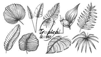 Collection of Different Tropical Leaves Set Vector. Exotic Jungle Tree And Bush Leaves. Element Of Beautiful Nature Botanical Plants Monochrome Hand Drawn In Vintage Style Illustrations
