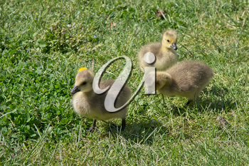 Canada Goose (branta canadensis) Goslings on the banks of the river Thames