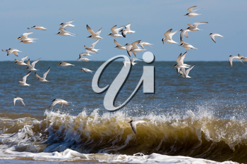 Little Terns (Sternula albifrons) Flying along the Beach at Winterton-on-Sea