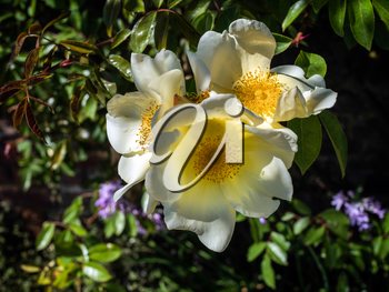 Cultivated Ornamental Dog Rose