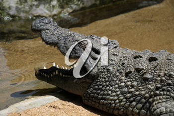 Nile Crocodile (Crocodylus niloticus) at the Bioparc Fuengirola