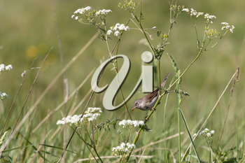 Common Whitethroat (Sylvia communis) hunting for food