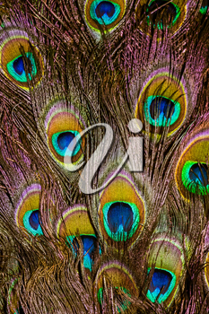 Exotic multicolored peacock feather, abstract macro background.