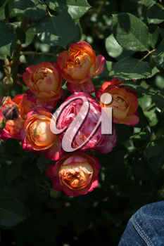 Blooming beautiful colorful roses in the garden background