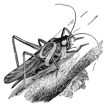 Great green grasshopper, vintage illustration. Sourced from antique book The Playtime Naturalist by Dr. J.E. Taylor, published in London UK, 1889.